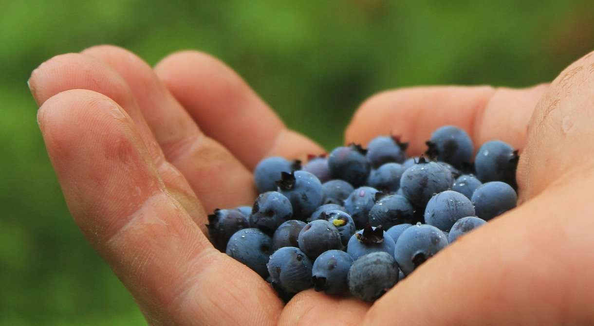 Blueberries in hand